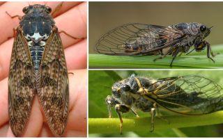 सिक्का मक्खियों का विवरण और तस्वीरें