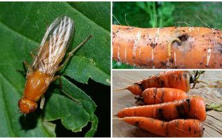 गाजर मक्खियों से छुटकारा पाने के लिए कैसे