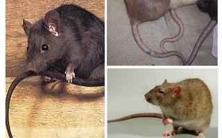 चूहे की पूंछ क्यों करते हैं