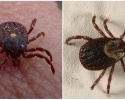 टिक प्रजातियों का फोटो और विवरण