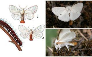 तितली और कैटरपिलर का विवरण और फोटो