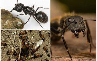वुडविंड चींटियों