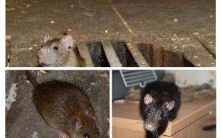 घर में चूहा कैसे पकड़ें