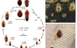 क्या आकार बिस्तर कीड़े