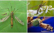 लंबे पैर (कैन) के साथ बड़े मच्छर