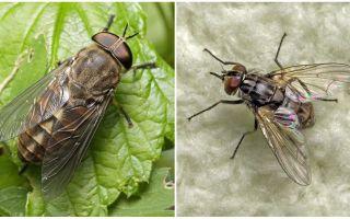विवरण और फोटो काटने मक्खियों