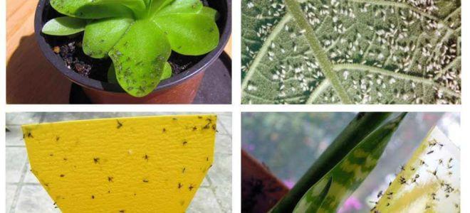 फूलों के बर्तनों में मक्खियों से कैसे निपटें