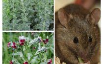 चूहों के लिए लोक उपचार