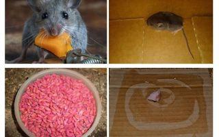 गेराज से चूहों को कैसे निकालें