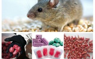 चूहों और चूहों के लिए जहर
