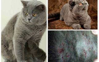 एक ब्रिटिश बिल्ली से एक पिस्सू कैसे प्राप्त करें