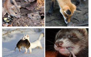 चूहों कौन खाता है