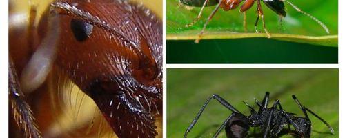 चींटियों
