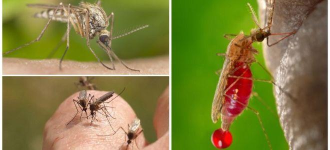 जिन लोगों के साथ रक्त समूह अक्सर मच्छरों द्वारा काटा जाता है
