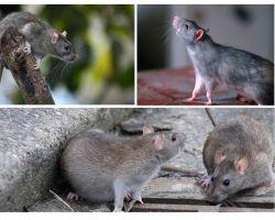 चूहों कितने साल रहते थे