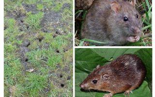 पृथ्वी चूहा