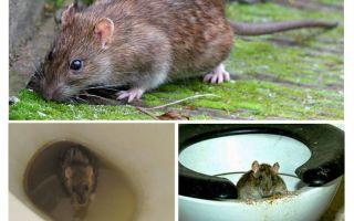 क्या चूहा शौचालय से निकल सकता है