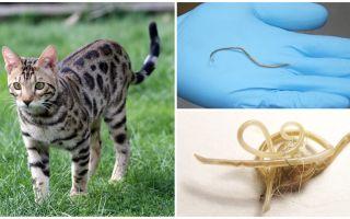 बिल्लियों में ascariasis के लक्षण और उपचार
