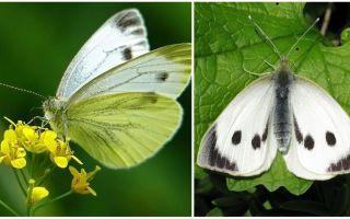 कैटरपिलर और गोभी तितलियों के विवरण और तस्वीरें