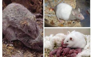 प्रजनन चूहों