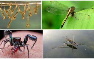 मच्छर कौन खाता है