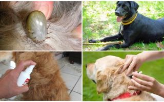 कुत्तों और fleas से कुत्तों के लिए सबसे अच्छी दवाओं