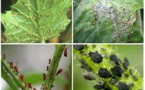 बगीचे में और लोक उपचार के बगीचे में एफिड्स से कैसे निपटें