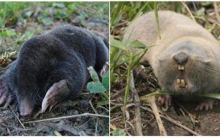 तिल और तिल चूहे के बीच क्या अंतर है?