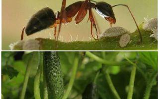 खीरे के साथ बगीचे में चींटियों से कैसे निपटें