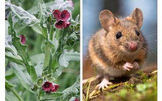 चूहों से संयंत्र काली जड़