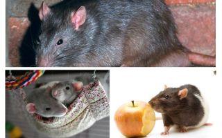 दिलचस्प चूहे तथ्यों
