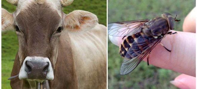 घर पर गैडफ्लियों और गैडफ्लियों से गाय का इलाज कैसे करें