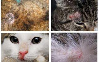 यदि कोई fleas नहीं है तो एक बिल्ली खुजली क्यों करता है