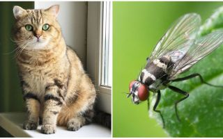 अगर बिल्ली या बिल्ली ने एक फ्लाई खाई तो क्या करें