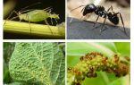 चींटियों और एफिड्स के रिश्ते का प्रकार