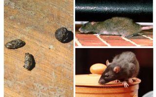 अपार्टमेंट में चूहों से कैसे निपटें