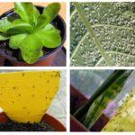 इनडोर पौधों में ब्लैकफ्लियां