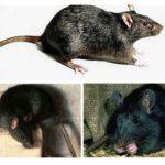 काला चूहा