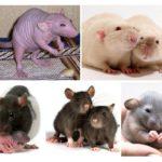 सजावटी चूहों