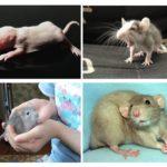 चूहे पिल्ले