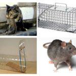 मत्स्य पालन चूहों