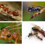 चींटी शरीर