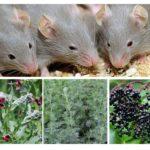 चूहों से जड़ी बूटी