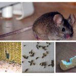 अपार्टमेंट में चूहों की उपस्थिति