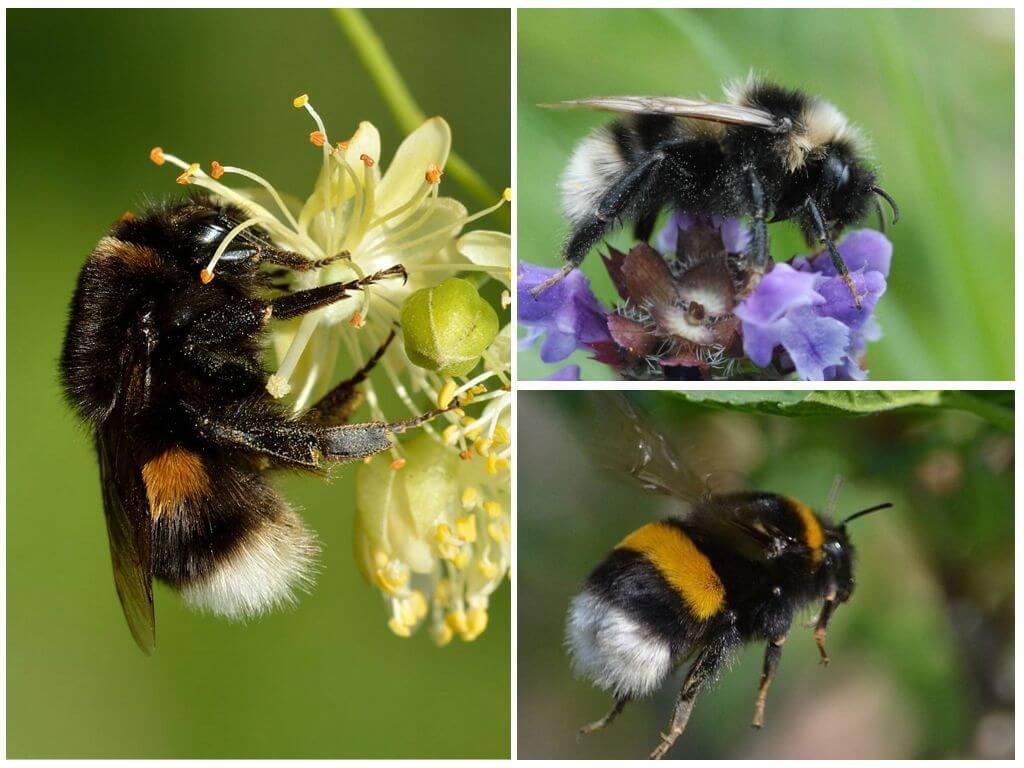 रंगीन bumblebees