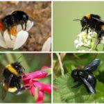 Bumblebee प्रजातियां