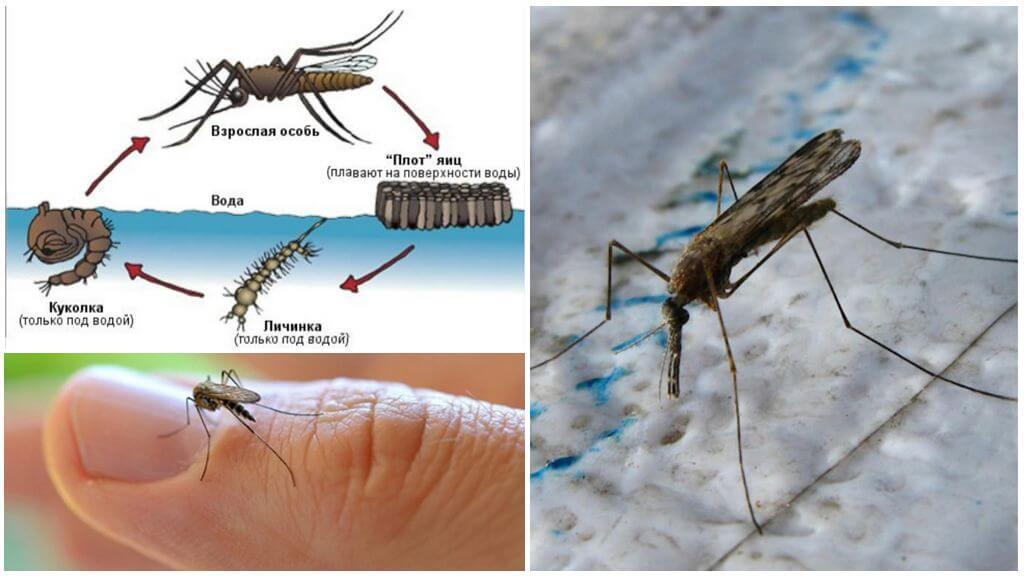 Anopheles मच्छर का प्रजनन चक्र