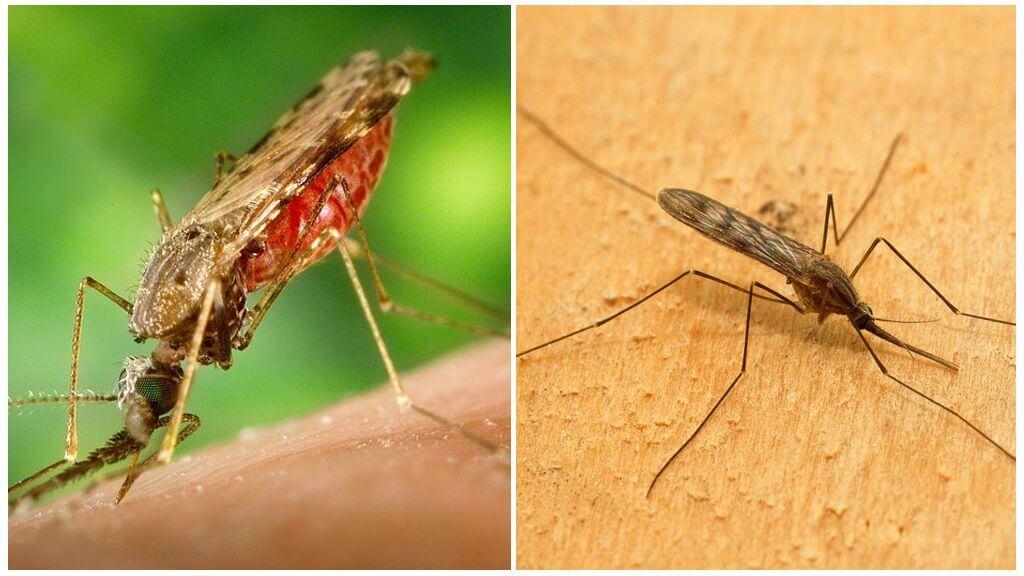 मलेरिया मच्छर