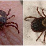 Parasitiform ticks