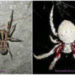 मकड़ियों ऑस्ट्रेलिया